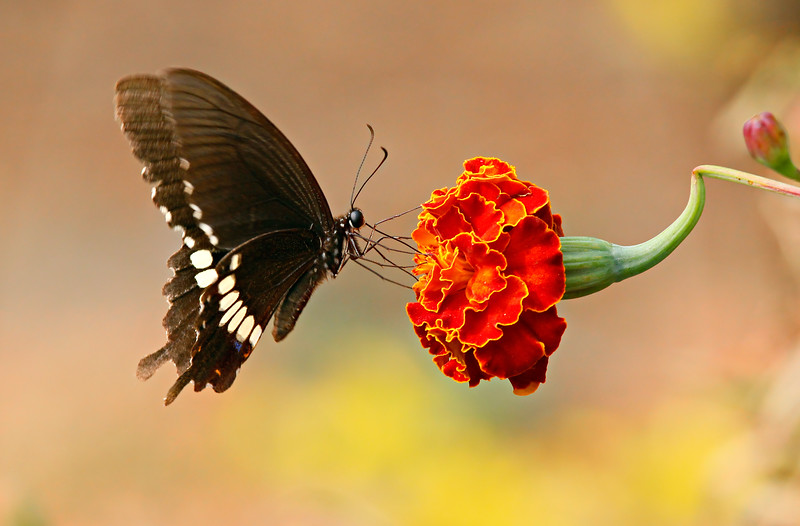 Dance over Flower - Papilio polytes butterfly / Танец над цветком - парусник полит