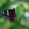 Dreaming - Hector Butterfly / В грезах - бабочка Гектор