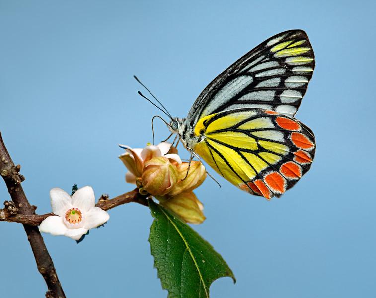 A Sweet Instant - Delias eucharis butterfly / Сладкое мгновенье - бабочка делия эухарис