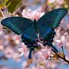 Black swallowtail or papilio maackii in blooming sakura  / Синий махаон в сакуре цветущей