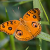Peacock Pansy Butterfly / Бабочка Юнония павлин