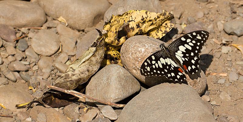 Miracle of Life -  Papilio Demoleus butterfly / Чудо Жизни - парусник Демолей