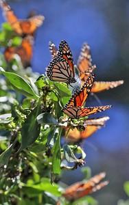 Butterflies 17