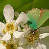 A Spring Fairy – Callophrys rubi butterfly / Фея весны – бабочка зеленушка малинная