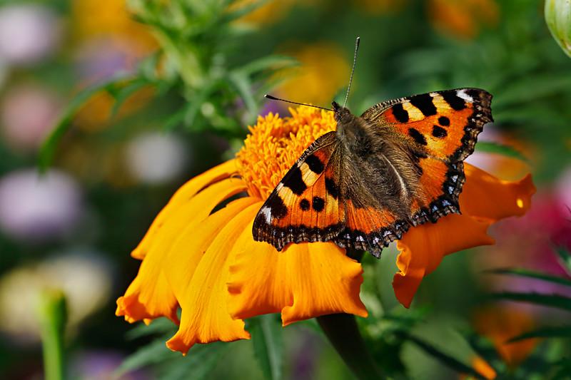 Summer Study with Aglais urticae butterfly / Летний этюд с бабочкой шоколадницей