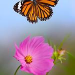 Dance of Freedom - Danaus genutia butterfly / ????? ??????? ? ??????? ???????