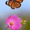 Dance of Freedom - Danaus genutia butterfly / Танец свободы – бабочка данаида
