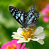 Blue Tiger Butterfly / Голубой тигр