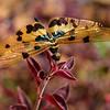 Indian Carpet - Rhyothemis variegata dragonfly / Индийский ковер - стрекоза риотемис вариегата
