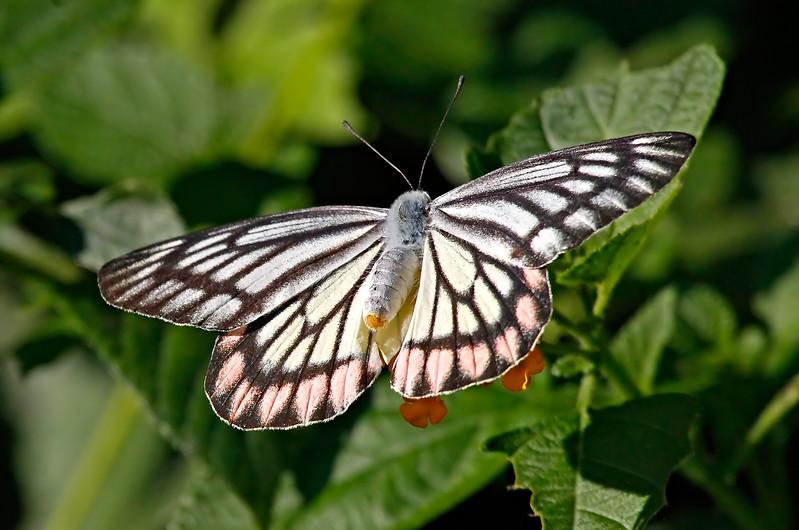 Fleeting Wings - Delias eucharis butterfly / Мимолетные крылья - бабочка делия