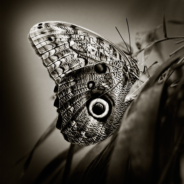Noble Beauty - Caligo butterfly / Благородная красота