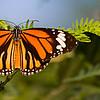 Noon Rest - Danaus genutia butterfly / Полуденный отдых – бабочка данаида