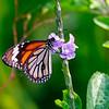 In the Green Gardens of India — Danaus genutia butterfly / В зеленых садах Индии — бабочка данаида генуция или тигр