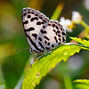 Harmony - Castalius rosimon butterfly / Гармония - бабочка голубянка