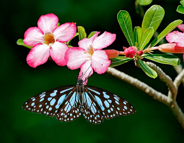 Harmony - Blue Tiger butterfly / Гармония - бабочка голубой тигр