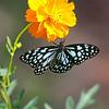 Harmony - Blue Tiger Butterfly on Cosmos Flower / Гармония - бабочка голубой тигр на цветке космеи