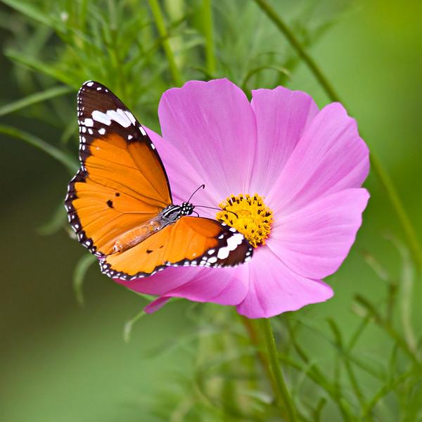 Harmony - Danaus chrysippus butterfly / Гармония - бабочка Данаида хризипп