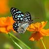 Azure and Gold - Blue Tiger Butterfly / Лазурь и золото - бабочка голубой тигр