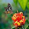 Free Flight - Papilio demoleus butterfly / Свободный полет - бабочка  парусник демолей