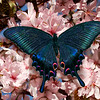Papilio maackii or alpine black swallowtail on blossoming sakura.