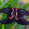 Love Knot or A Living Reflection -  Papilio alcmenor / Бант любви или Живое отражение - парусник Алкменор