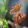 Summer Dream - Polygonia c-album butterfly / Летняя греза - бабочка углокрыльница