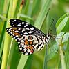Rest in the Grass - Papilio Demoleus / Отдых в травах - парусник демолей