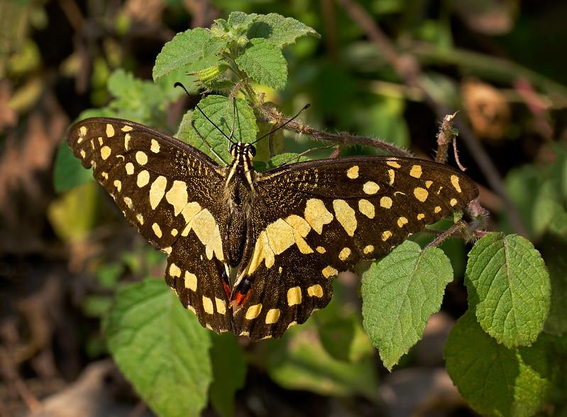 A Mountain Beauty - Papilio demoleus butterfly / Красавица гор - бабочка лимонный парусник