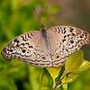 Melody of Wings - Junonia atlites butterfly / Мелодия крыльев - бабочка юнония
