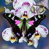 Butterfly Graphium weiskei swallowtail on a white orchid flowers