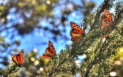 Butterflies 15
