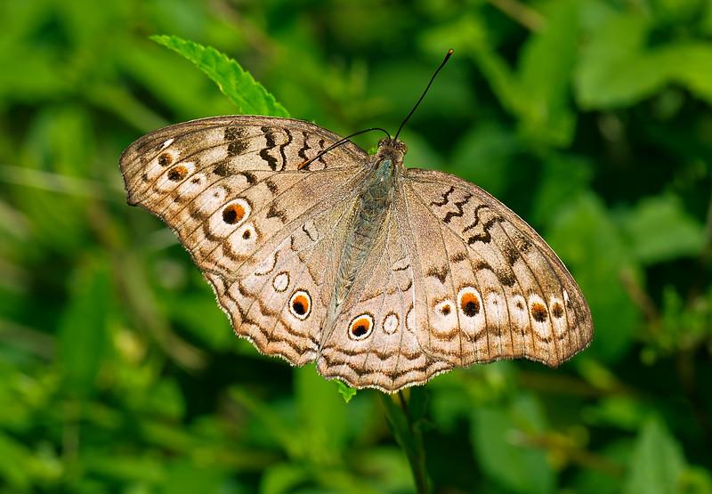 Resting Beauty - Junonia atlites butterfly / Красотка на отдыхе - бабочка юнония