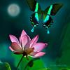 Papilio blumei /Парусник павлин