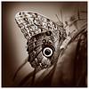 Noble Beauty — Caligo butterfly / Благородная красота