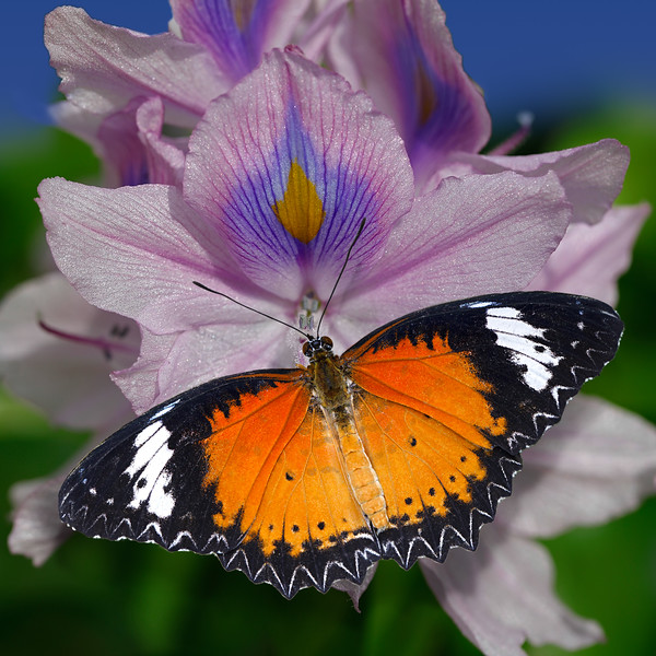Golden Wings - Red Lacewing - Cethosia biblis butterfly / Золотые крыла - бабочка Златоглазка Библис