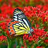 Flower Bath — Butterfly Delias eucharis / Купаясь в цветах