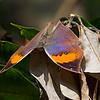 Kallima Butterfly - A Magic Transformation (2) or On the Rainbow Wings / Бабочка каллима - Магическое превращение (2) или На радужных крылах
