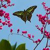 Winged Dance - Graphium Agamemnon Butterfly / Крылатый танец - бабочка графиум Агамемнон