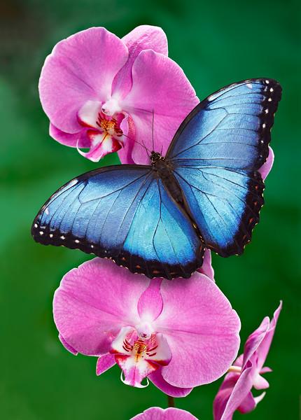 The Azure Emperor - morpho butterfly on orchid flowers / Лазурный Император - бабочка морфо на цветах орхидеях