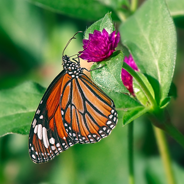 A Winged Tiger — Danaus genutia butterfly / Крылатый тигр