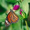A Winged Tiger — Danaus genutia butterfly / Крылатый тигр