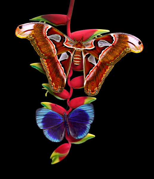 Attacus atlas and blue glory butterflies on heliconia flower