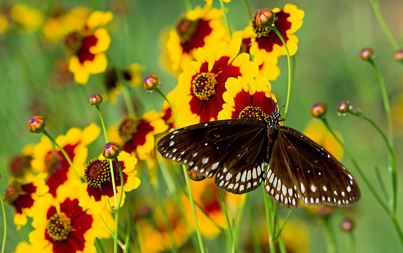Amid the Happy Blossom - Euploea klugii butterfly / В счастливом цветнике