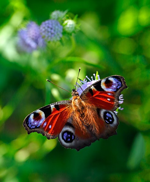 Peacock Butterfly - Summer Moment / Мгновение лета - бабочка павлиний глаз