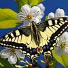 Sunny Papilio - Machaon / Солнечный парусник - Махаон