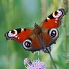Taking off - Inachis io butterfly / В полет - бабочка павлиний глаз