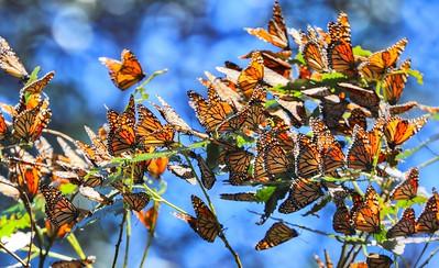 Butterflies 23