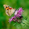 Painted lady underside on a flower / Расписная леди