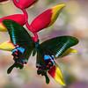 A Winged Gem - Papilio Arcturus / Крылатый самоцвет - парусник Арктур