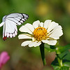 Meeting - Butterfly Delias eucharis over Zinnia flower / Встреча - бабочка делия над цветком